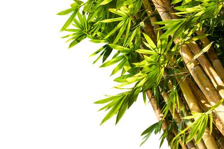 close up of bamboo trees isolated on white background
