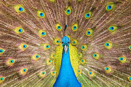 front view of  blue male indian peacock and  full spread tail feathers background