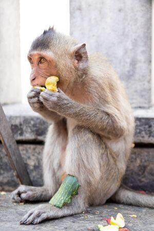 Young long-tailed macaque monkey eating fruit at Khao sam muk hill in Chonburi Province, Thailand. Stock Photo