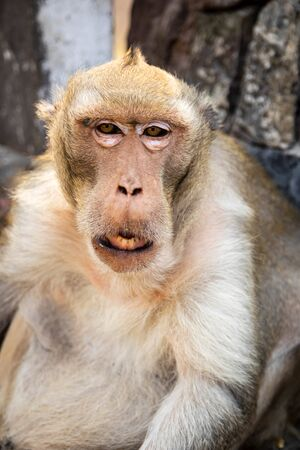 close up of monkey portrait at Khao sam muk hill in Chonburi Province, Thailand. Eye contact