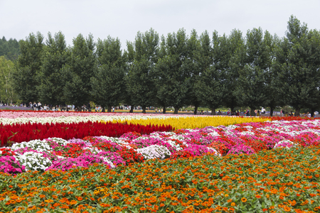 FURANO, HOKKAIDO, JAPAN - JULY 30, 2015: Colorful flower fields with pine tree and tourists in the background at Tomita farm, famous tourist attraction of Furano, Hokkaido.