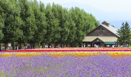 FURANO, HOKKAIDO, JAPAN -  JULY 30, 2015: Colorful flower fields with house and tourists in the background at Tomita farm, famous tourist attraction of Furano, Hokkaido. 報道画像