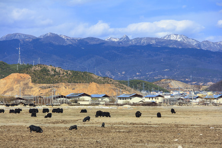 High snow mountains and Yaks in the field, scenery of Shangri-La (Zhongdian), Yunnan, China Stock Photo