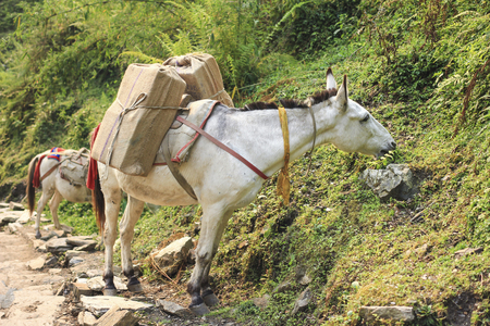 Horse caravan carry luggage and things, on the Himalaya Annapurna trekking trail in Nepal