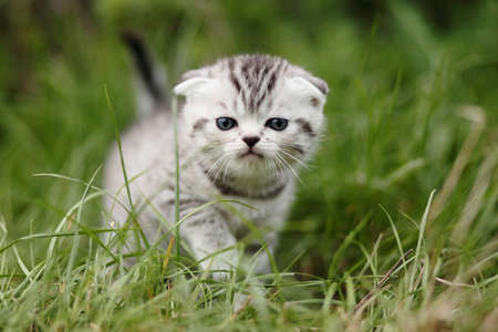 scotish: scotish fold kitten on the green grass Stock Photo