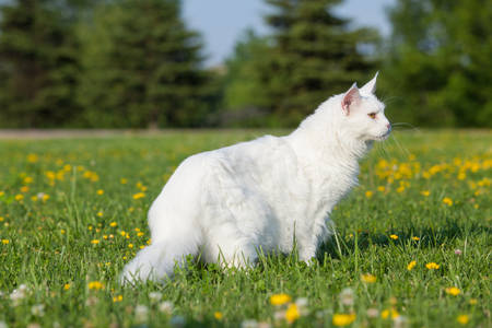 maine coon: white maine coon cat female seats on grass