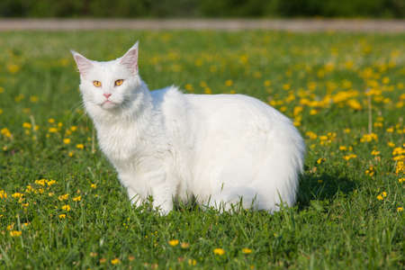 maine cat: white maine coon cat female seats on grass