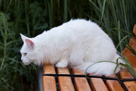 maine coon: white maine coon cat female seats on the bench