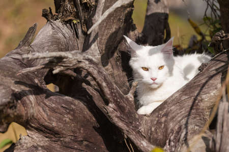 white maine coon cat female seats dry wood