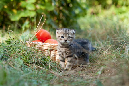 scottish fold young kitten and tomatos on the grass