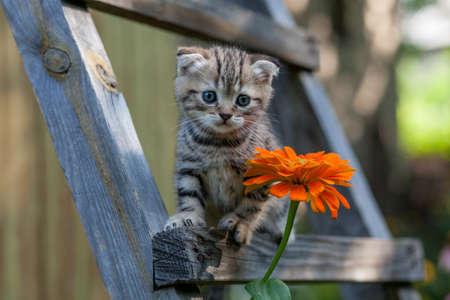 scottish fold young kitten seats on the ladder