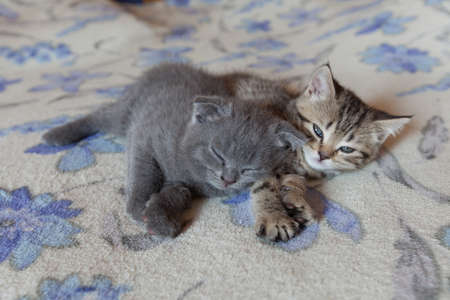 sleeps: scottish fold young kitten sleeps together on the bed