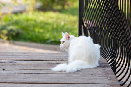 Maine Coon white seats cat on the wooden bridge Stock Photo