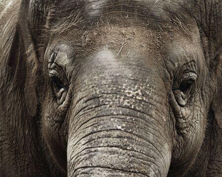 trustworthy: Close up of a female Asian Elephant (Elephas maximus). Santa Barbara Zoo, Santa Barbara, California, the United States.