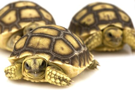 spurred: Group of  African Spurred Tortoises (Geochelone sulcata) Stock Photo