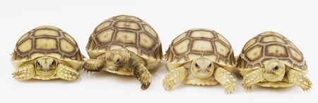 herpetology: Group of  African Spurred Tortoises (Geochelone sulcata) Stock Photo
