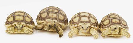 sulcata: Group of  African Spurred Tortoises (Geochelone sulcata) Stock Photo