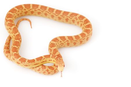 herpetology: Albino Gopher Snake (Pituophis catenifer)