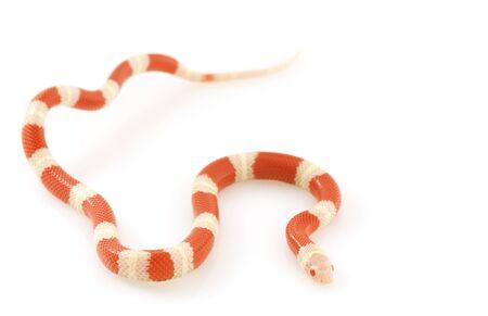 Albino Nelson's Milk Snake (Lampropeltis triangulum nelsoni) on white background