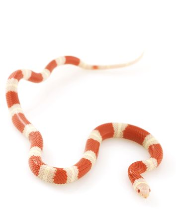 Albino Nelson�s Milk Snake (Lampropeltis triangulum nelsoni) on white background photo