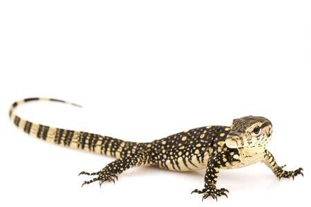 salvator: Asian Water Monitor Lizard (Varanus salvator) on white background. Stock Photo
