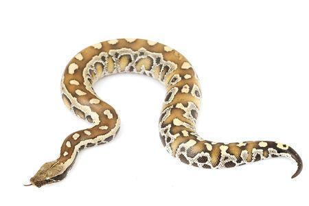 herpetology: Blood Python (Python curtus)