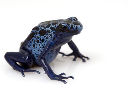 arrow poison: Blue Poison Arrow Frog (Dendrobates azureus) on white background Stock Photo