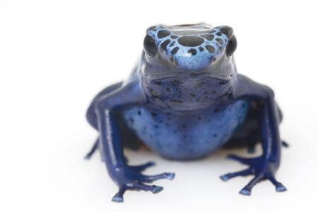 blue frog: Rana veneno de flecha azul (Dendrobates azureus) sobre fondo blanco
