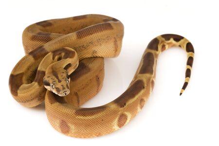 herpetology: Boa Constrictor