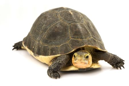 exotic pet: Chinese Box Turtle (Cuora flavomarginata)
