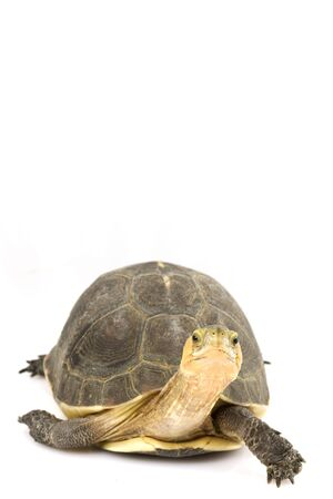 ancient turtles: Chinese Box Turtle (Cuora flavomarginata)