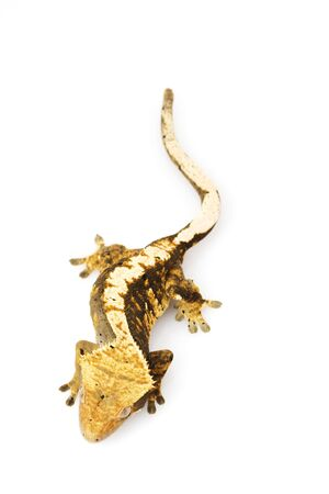 crested gecko: Crested Gecko (Rhacodactylus ciliatus) Stock Photo