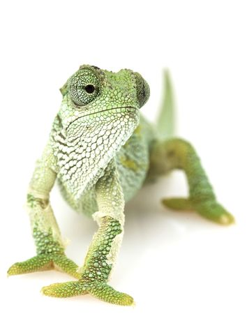 Green Chameleon with shedding parts on white background.