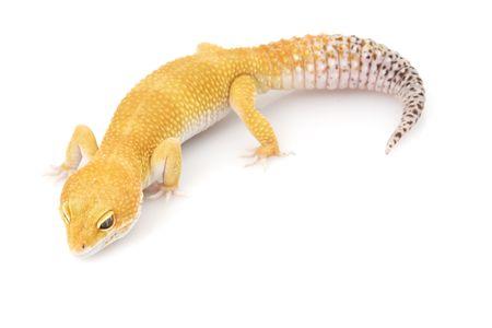 herpetology: Leopard Gecko (Eublepharis macularius) on white background
