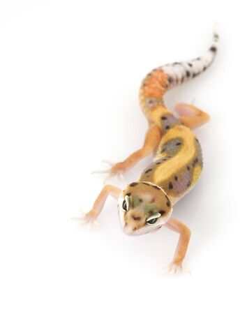 herpetology: Leopard Gecko (Eublepharis macularius) on white background