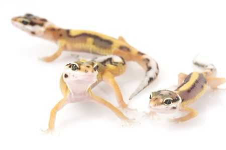 a group of 3 Leopard Geckos (Eublepharis macularius) on white background