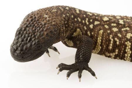 Mexican Beaded Lizard (Heloderma horridum) on white background.