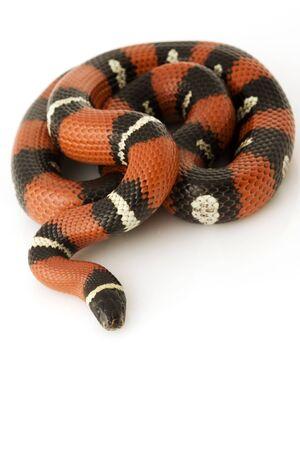 triangulum: Nelson's Milk Snake (Lampropeltis triangulum nelsoni) on white background. Stock Photo