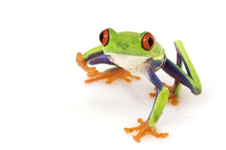 agalychnis: Red-eyed Tree Frog (Agalychnis callidryas) on white background.