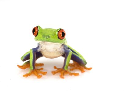 grenouille drole: Red-eyed Tree Frog (Agalychnis callidryas) sur fond blanc.