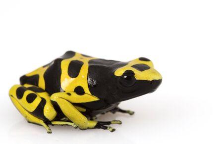 arrow poison: Yellow Poison Arrow Frog (Dendrobates leucomelas) on white background.