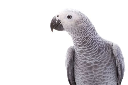 African Grey Parrot (Psittacus erithacus) on white background. photo