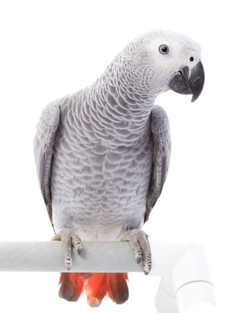 erithacus: African Grey Parrot (Psittacus erithacus) on white background.