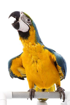 ararauna: Azul y amarillo (Ara ararauna) sobre fondo blanco. Foto de archivo