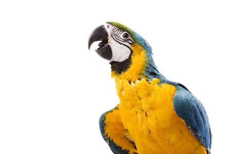 ararauna: Azul y amarillo Macaw (Ara ararauna) sobre fondo blanco.