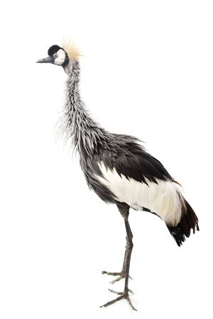 East African Crowned Crane (Balearica regulorum gibbericeps) on white background. photo