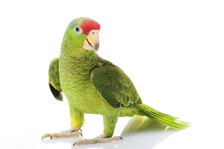 loro: Roja Mexicana encabezadas por Amazon Parrot (Amazona viridigenalis) sobre fondo blanco.