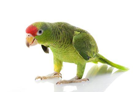 Mexicaanse rood-headed Amazone papegaai (Amazona Viridigenalis) op witte achtergrond.