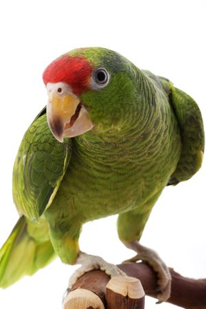 redheaded: Mexican Red-headed Amazon Parrot (Amazona Viridigenalis) on white background.