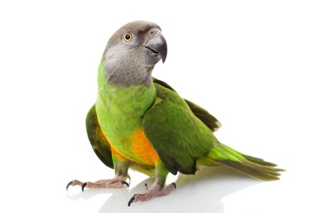 Senegal Parrot (Poicephalus senegalus) on white background.